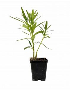 Oleandro Plant