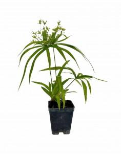 Cyperus Papyrus Plant