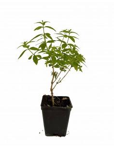 Cedrina or 'Citronella' Plant