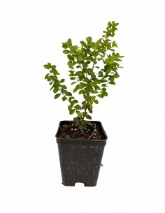 African Myrsine plant