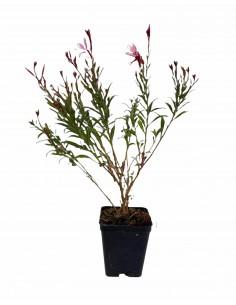 Gaura Plant