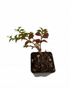 Polygonum Capitatum Plant