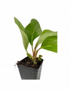 Pianta Bergenia Cordifolia