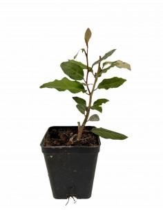 Elagnus Ebbingei plant