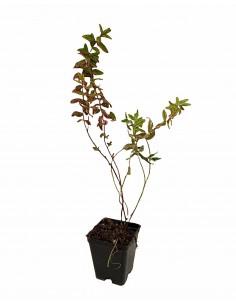 Hypericum Tricolor Plant