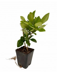 Privet plant