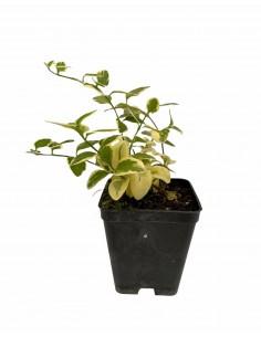 Vinca Plant Vase 7cm
