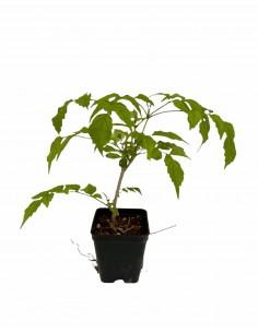 Pianta Bignonia Ricasoliana...