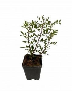Lentisk plant
