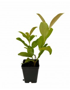 Glossy Viburnum Plant