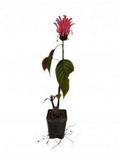 Justicia Carnea Plant