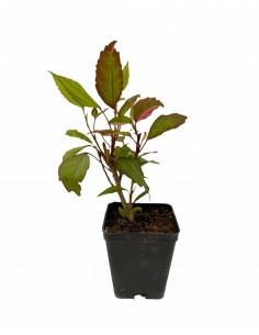 Hibiscus Syriacus Plant