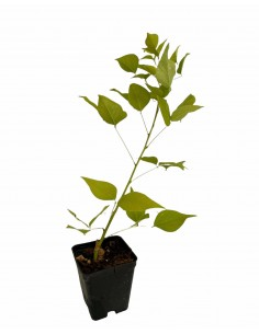 Erythrina Coralloides Plant...