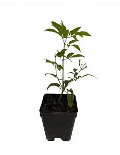 Gelsomino Azorico Plant...