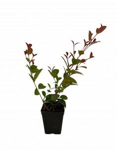 Eugenia Myrtifolia plant