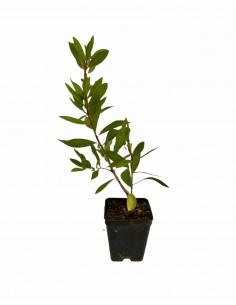 Callistemon Plant