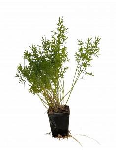 Asparagus Sprengeri Plant