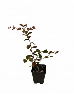 Loropetalum Fire Dance Plant