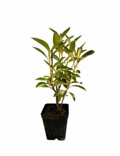 Euonymus Livornese plant
