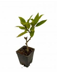 Mansoa Alliacea Plant jar 7cm