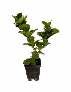 Carissa Macrocarpa Plant...