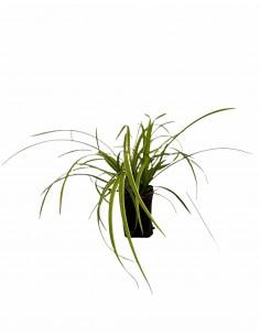 Miscanthus Plant