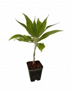 Echium Fastuosum Plant