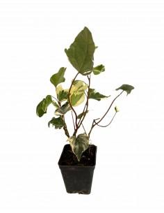 Ederina Variegated Plant...