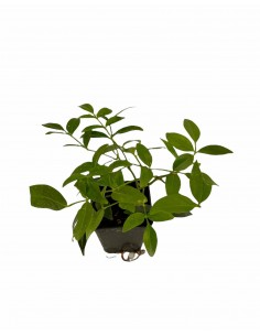Pandorea Jasminoides Plant