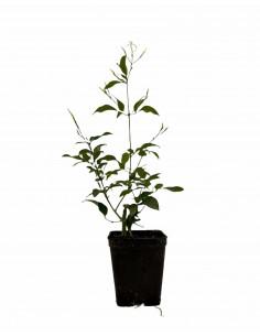 jasmine Multipartitum Plant...