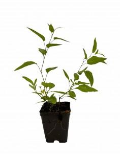 Solanum Jasminoides Plant