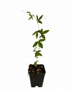 Passiflora Cerulea Plant