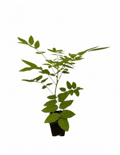 wisteria Plant Vase 7cm