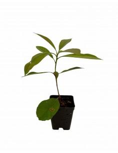 Pianta Photinia