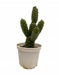 Pianta Grassa Tephrocactus...