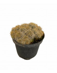 Mammillaria glassii...