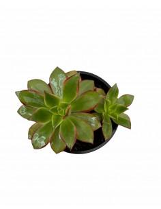 Pianta Grassa Aeonium...
