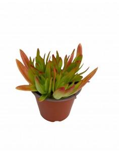 Echeveria Red Succulent Plant