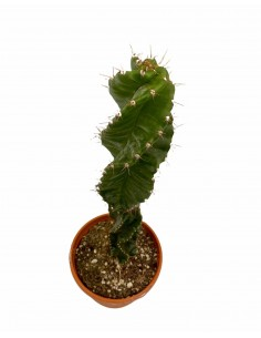 Cereus Forbesii Spiral...
