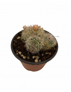 Mammillaria multilanata...