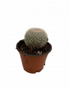 Mammillaria pringlei...