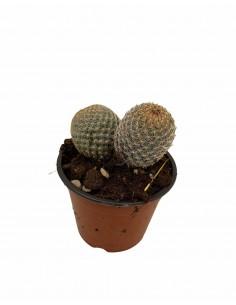 Pianta Grassa Rebutia heliosa