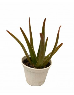 Pianta Aloe Vera