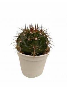 Ferocactus Histrix...