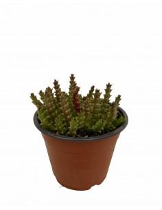 Stapelia Succulent Plant