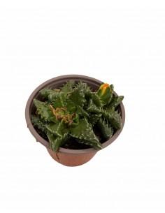 Faucaria Tuberosa Succulent...