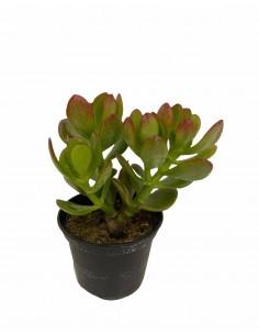 Portulacea Succulent Plant