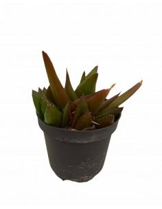 Aloe Ibrida Succulent Plant