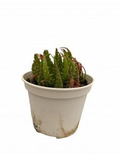 Pianta Grassa Aloe Humilis