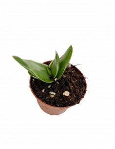 Pianta Grassa Aloe Striatula